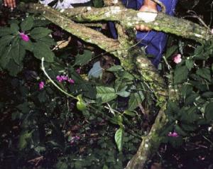 Figura 2. Banisteriopsis caapi Spruce ex Griseb.